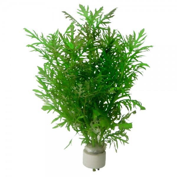 hygrophila difformis en bouquet plante pour aquarium. Black Bedroom Furniture Sets. Home Design Ideas
