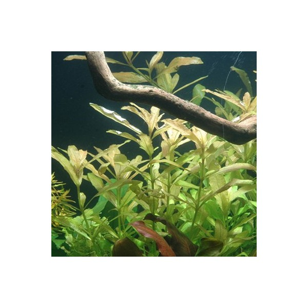 tropica hygrophila polysperma plante pour aquarium. Black Bedroom Furniture Sets. Home Design Ideas