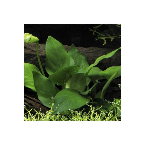 tropica anubia barteri var nana plante pour aquarium. Black Bedroom Furniture Sets. Home Design Ideas