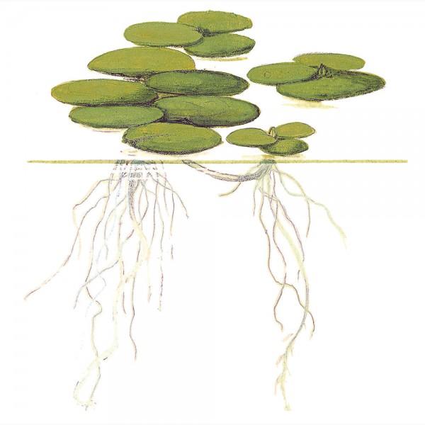 Limnobium leavigatum plante flottante pour aquarium for Plante pour aquarium