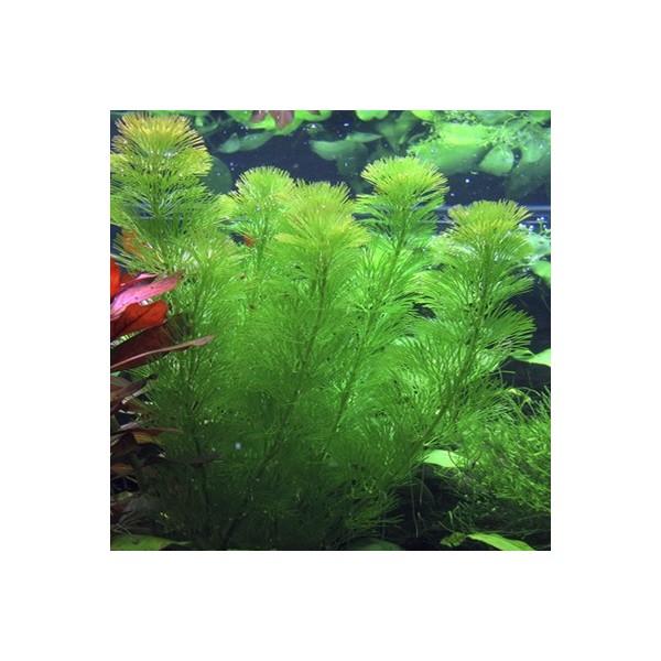 cabomba aquatica en bouquet x5 plante pour aquarium. Black Bedroom Furniture Sets. Home Design Ideas